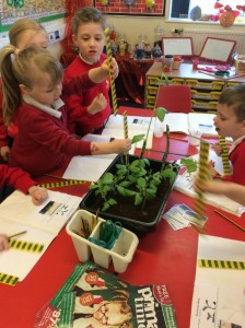The children have been using measures. They used rulers to measure the different heights of the beanstalks that they have been growing. They found out that the tallest bean is 45cm!